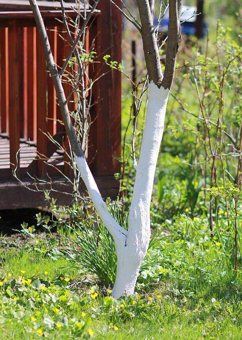 Zimowe bielenie drzew