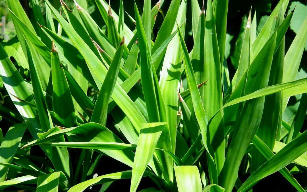 Blog - PIELĘGNACJA OGRODU - Jak pielęgnować jukę ogrodową.