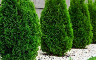 Jak sadzić tuje? – poznaj podstawowe zasady