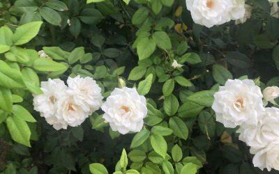 Biały ogród, schludność i elegancja