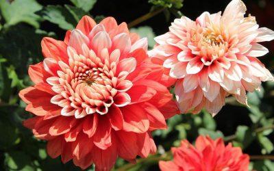 Dalie, czyli imponujący powrót ogrodowego klasyka